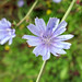 Chicory flower Dofasco 2000 Trail (2)