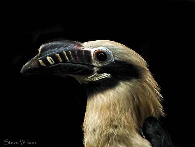 Visayan Tarictic Hornbill