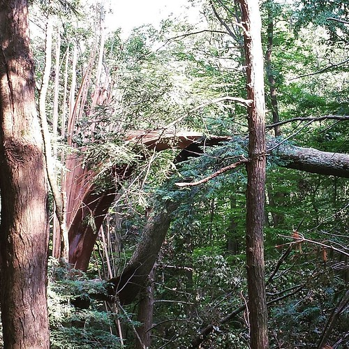 Tornado damage 3. #tornado #ChestnutRidge #wny #OrchardPark #summer #hiking #nature