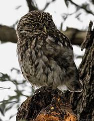 HolderLittle Owl