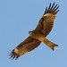 Black Kite (Alan Curry)