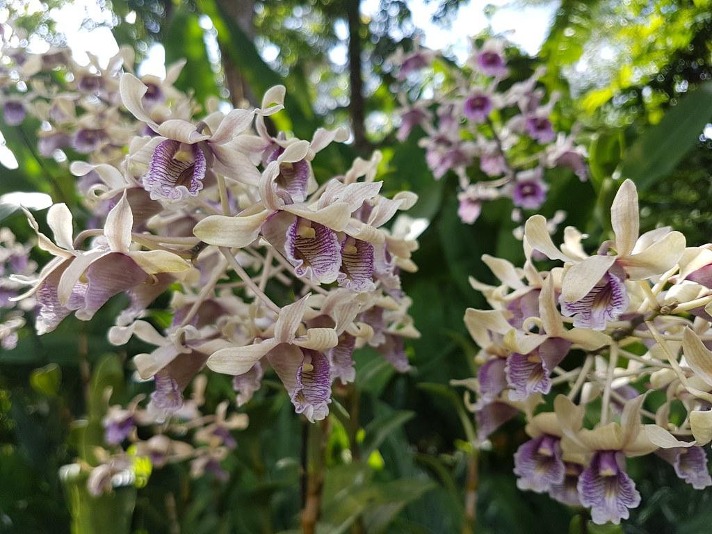 Dendrobium Grímsson- Moussaieff
