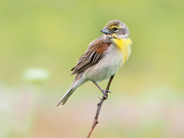 Dickcissel MIRRORLESS 07-20170714