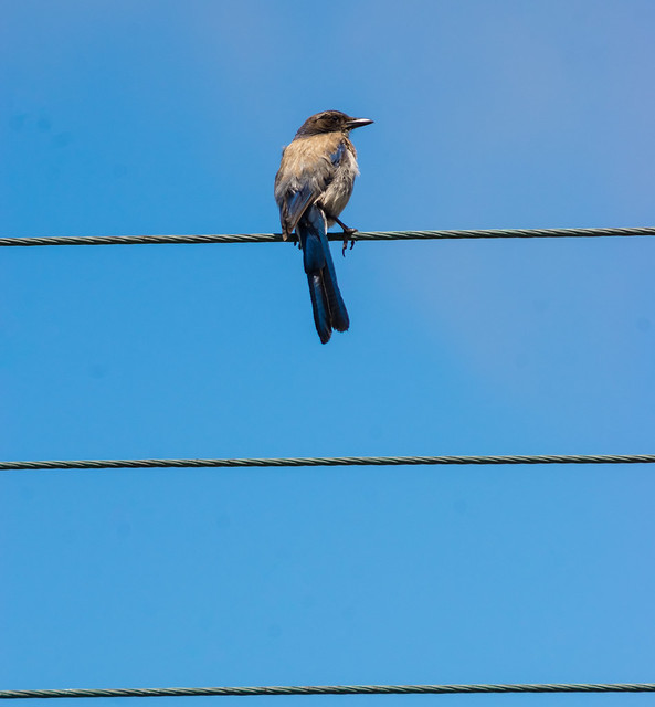 BlueJay on Wire, RICOH PENTAX K-3, smc PENTAX-F 100-300mm F4.5-5.6