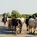 Cowboy & Cows in Road, Magdalena Colombia