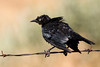Brewer's Blackbird (Euphagus cyanocephalus) (M)