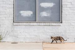 Boarded Windows, White Wall, Cat #2
