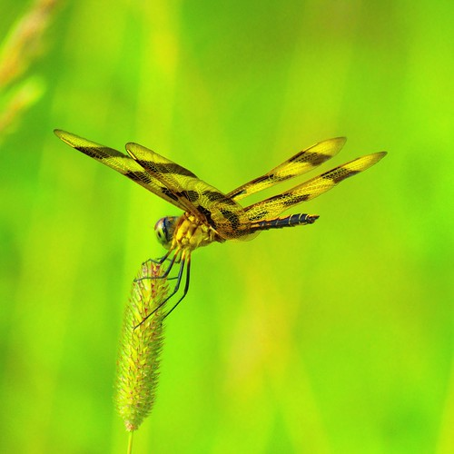 Dragonfly at Lippincott Bird Sanctuary. Photographer Joann Kraft
