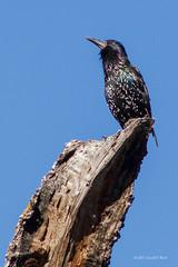 European Starling 3569