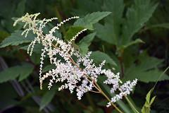 Métis flowers