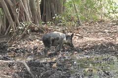Bush pig, Langa Langa Village, Nasarawa State, Nigeria, #JujuFilms