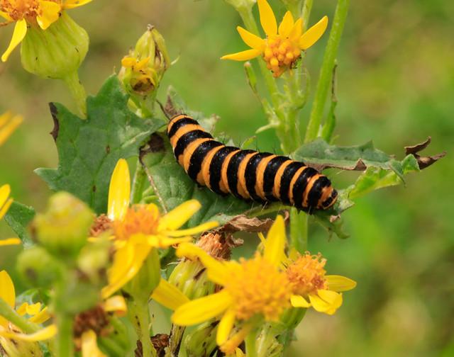 Cinnabar Moth caterpillars on Ragwort, Derbyshire