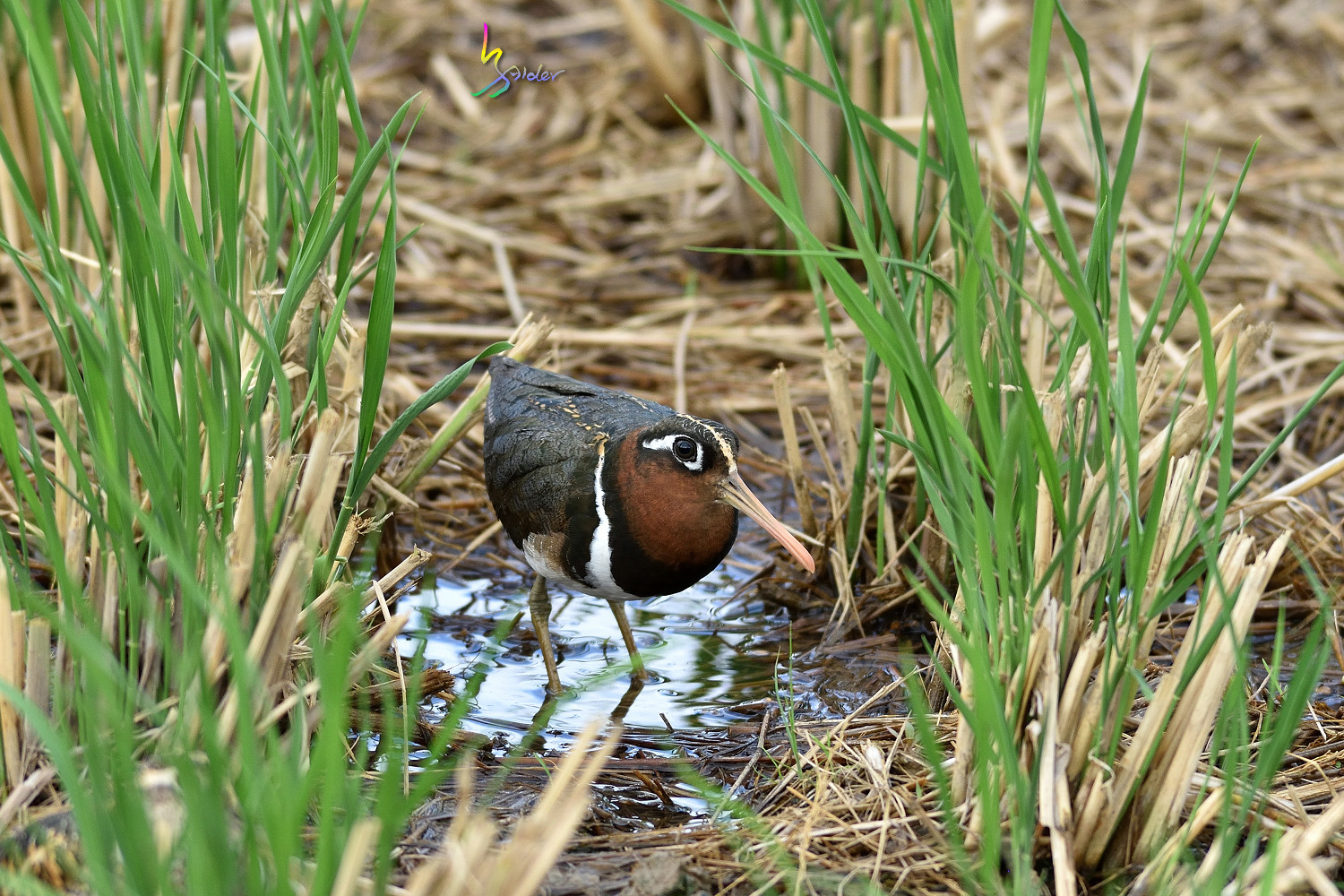 Painted_Snipe_1194