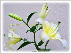 Mesmerizing blossoms of Lilium 'Conca D'Or', 3 August 2013