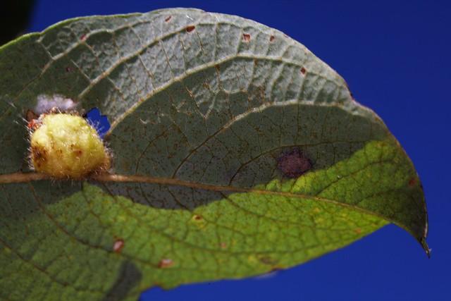 Galle d'Euura pedunculi (Pontania pedunculi) sur saule.