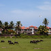 Beanulim - a mix of hotels - villas and... open fields with buffalos!