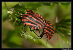 Punaises arlequin (Graphosoma italicum)