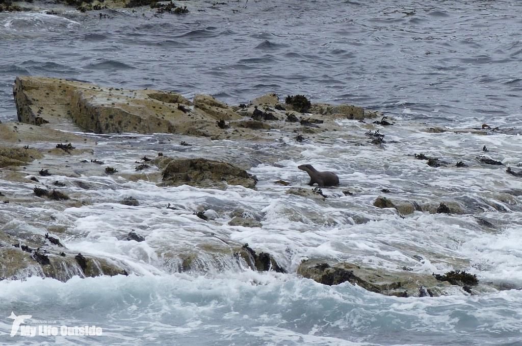 P1090745_2 - Otter, Isle of Mull