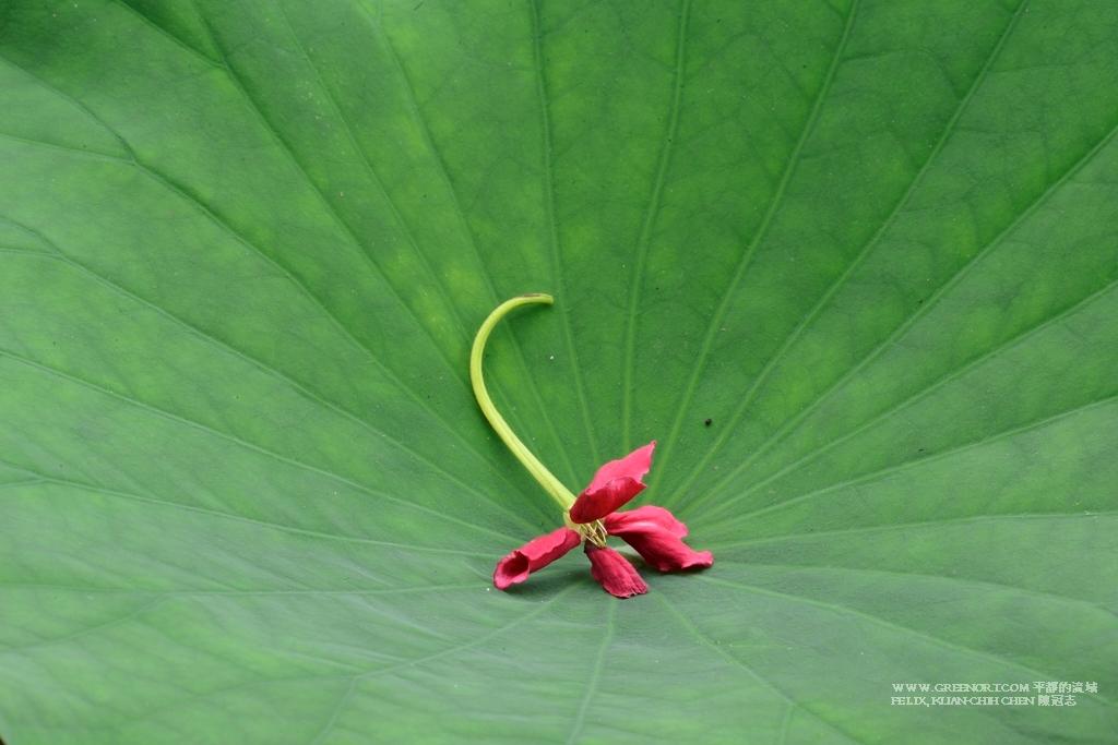 植物攝影: 台北市植物園 200mm 微距鏡頭拍荷花
