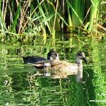 Fauna en las lagunas de La Guardia (Toledo) 30-7-2017
