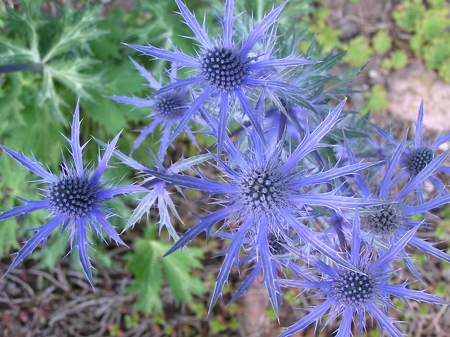Eryngium 'Blue Star'