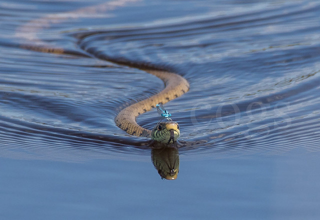 Grass snake with damselfly on head