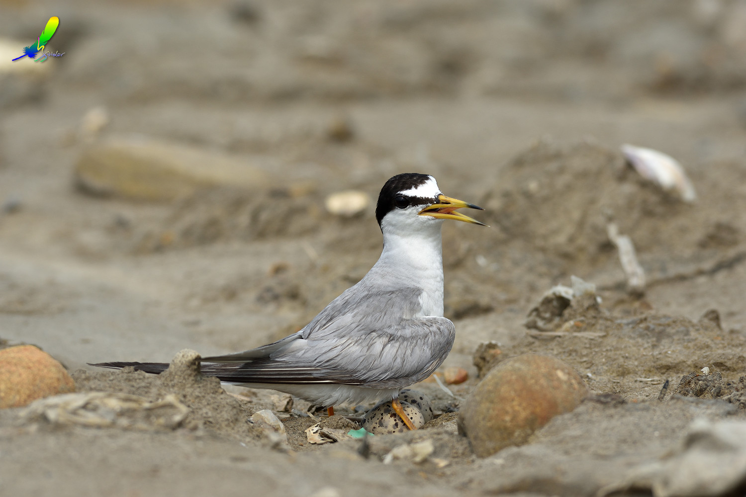 Little_Tern_8789