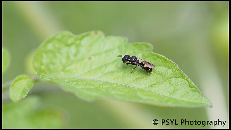 Crabronid wasp (Family Crabronidae)