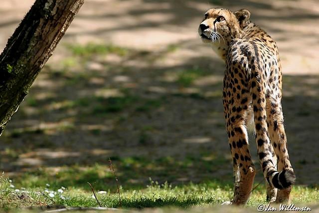 Cheetah - 0130401