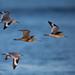 Flight of the Godwit by tylerareber