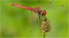 Sympétrum à nervures rouges - Red-veined darter - Sympetrum fonscolombii