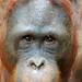 Looking into the eyes of an orangutan...