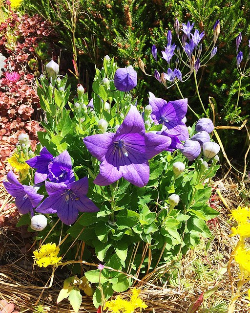 Balloon flowers 💜