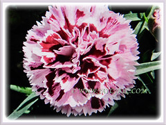 Lovely bloom of Dianthus caryophyllus (Carnation, Border Carnation, Clove Pink) in pink and dark red, 18 July 2017