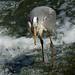 Heron Clumber Park IMG_4275