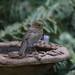 Juvenile Robin by Mukumbura
