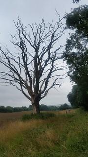 5. Blasted tree en route to Ascott under Wychwood
