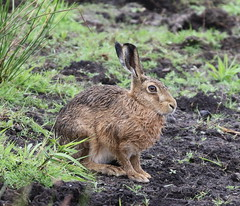 HolderBrown Hare