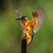 _landing kingfisher by Ruth Hayton