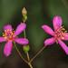 Phemeranthus mengesii, Flat Rock, Flat Rock Park, Randolph County, Alabama 1 by Alan Cressler