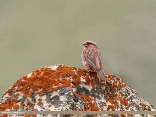 Red-Mantled Rosefinch (Carpodacus rhodochlamys)