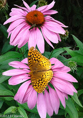 Great Spangled Fritillary Butterfly 20170702_140937-16.jpg