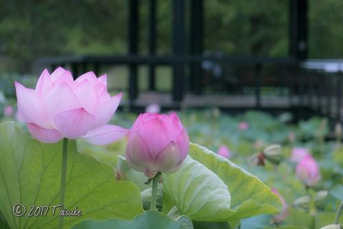 作例:万博公園 はす池にて。