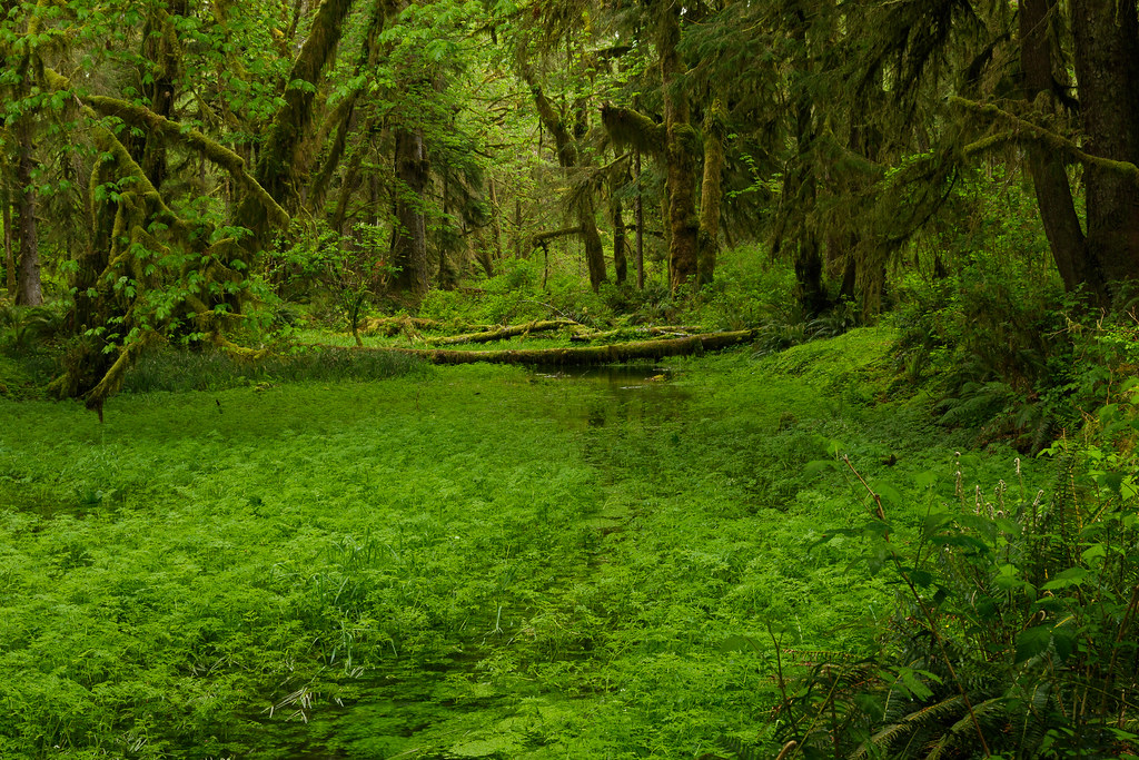 A stream meanders through the Quinault Rain Forest