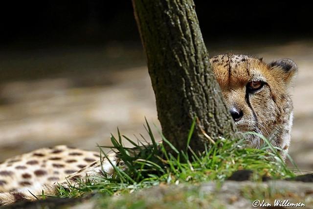 Cheetah - 0130402