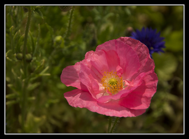 Pink Poppy, Canon EOS 60D, Tamron 18-250mm f/3.5-6.3 Di II LD Aspherical [IF] Macro