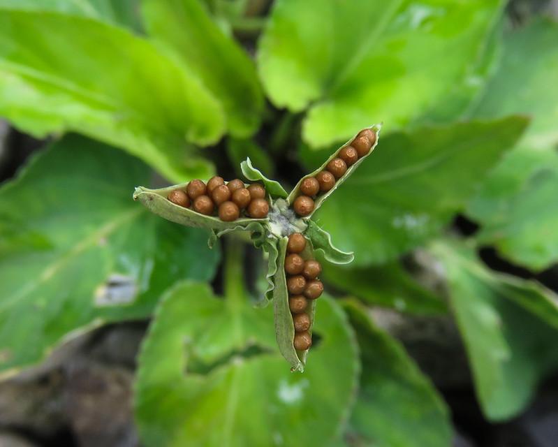 Violet seeds