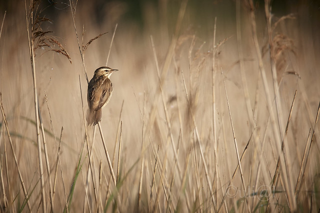 Schilfrohrsänger / sedge warbler / Acrocephalus schoenobaenus