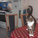 """""""I'm not supposed to be on the dining table..."""" - Happy Caturday by Finn Frode (DK)"""