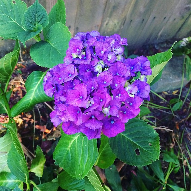 This hydrangea in our backyard is the prettiest shade of purple. 💜💜💜